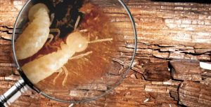 diagnostic_termites